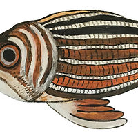 Red-striped Squirrel Fish by Susan Lynch