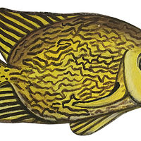 Reticulated Rabbit Fish by Susan Lynch