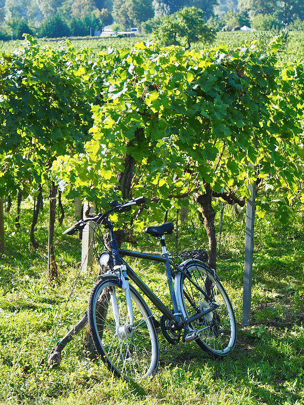 A Bike in the Vines by Ann Williams