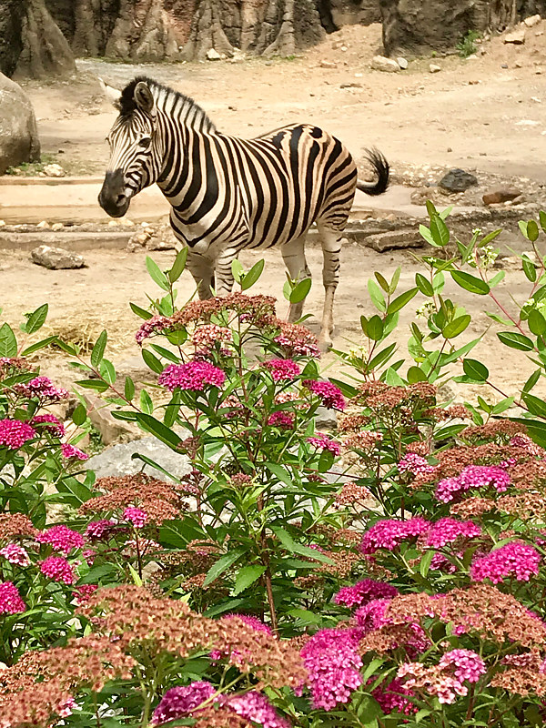 Zebra in the Flowers by Ann Williams