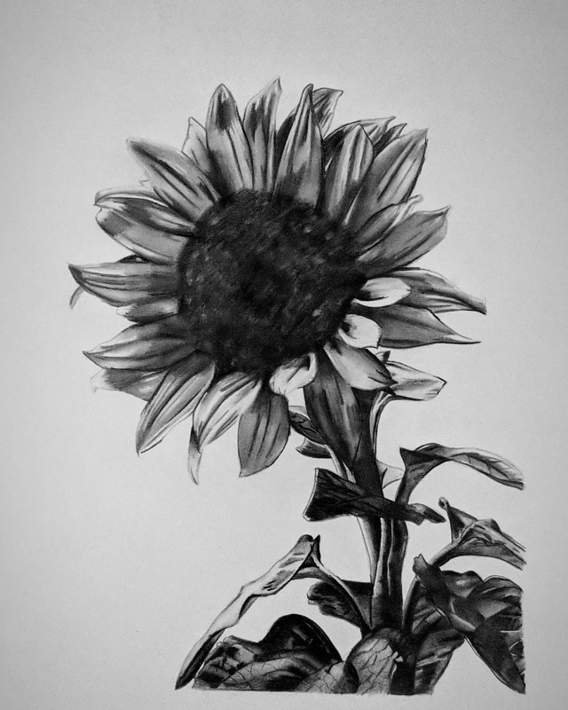 Drawing Sunflower by Matt Kantor