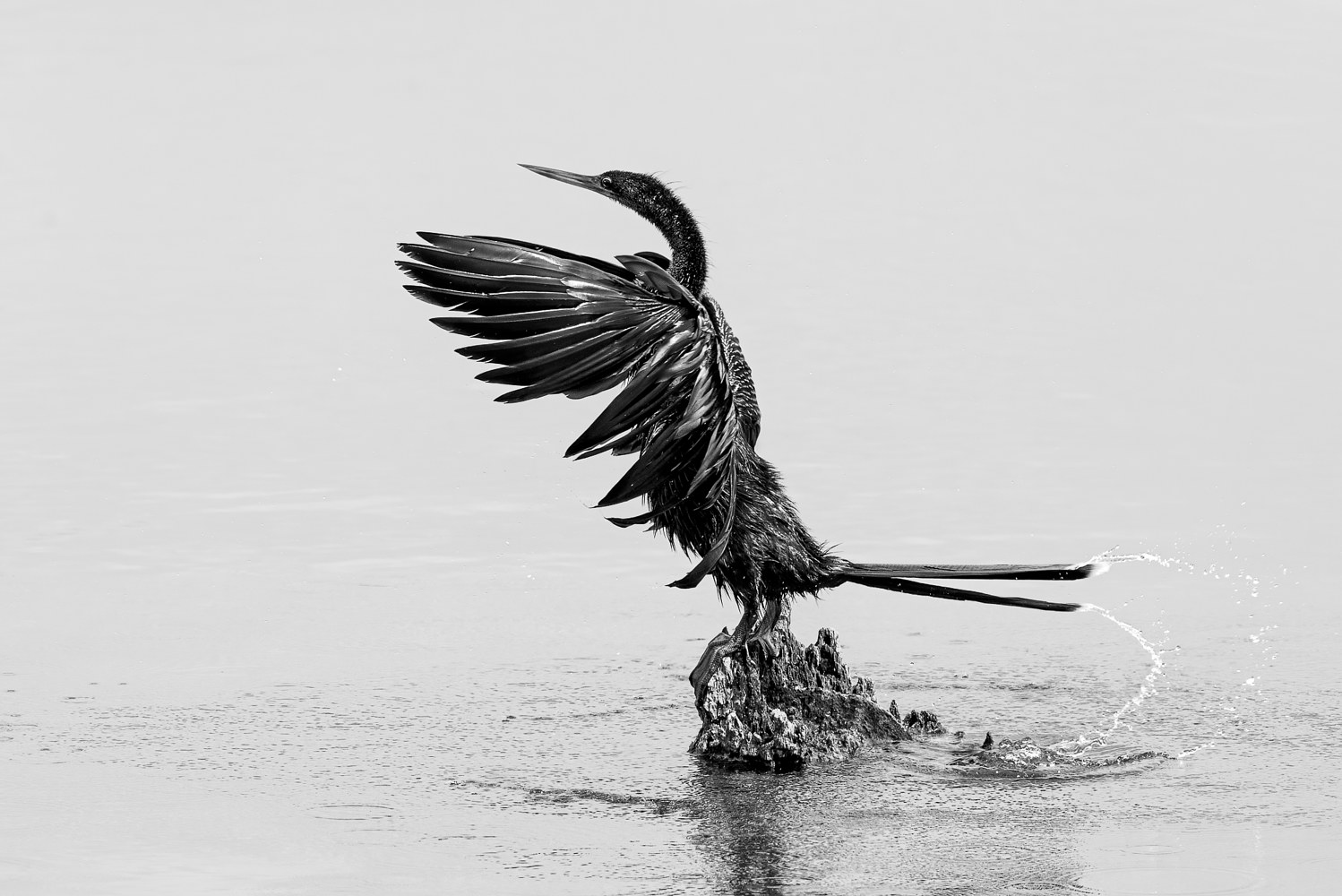 Anhinga Drying Off (WL68_1532BW) by Gary Jones