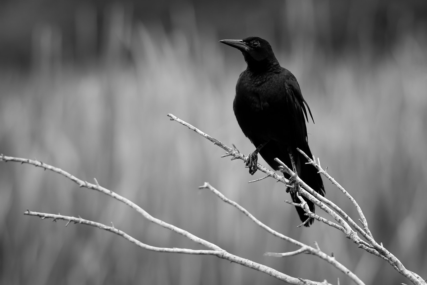 Wetlands Blackbird (WL65_9956BW) by Gary Jones
