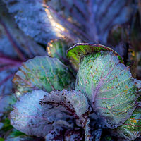 """Cabbage in Early Light"" by Hunter Madsen"