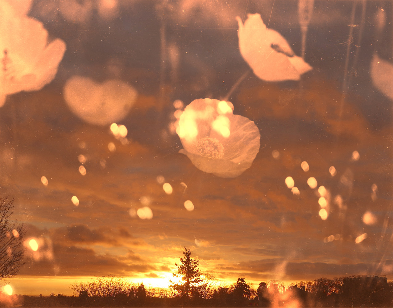 Photography Poppy Sunrise by Amber Macgregor