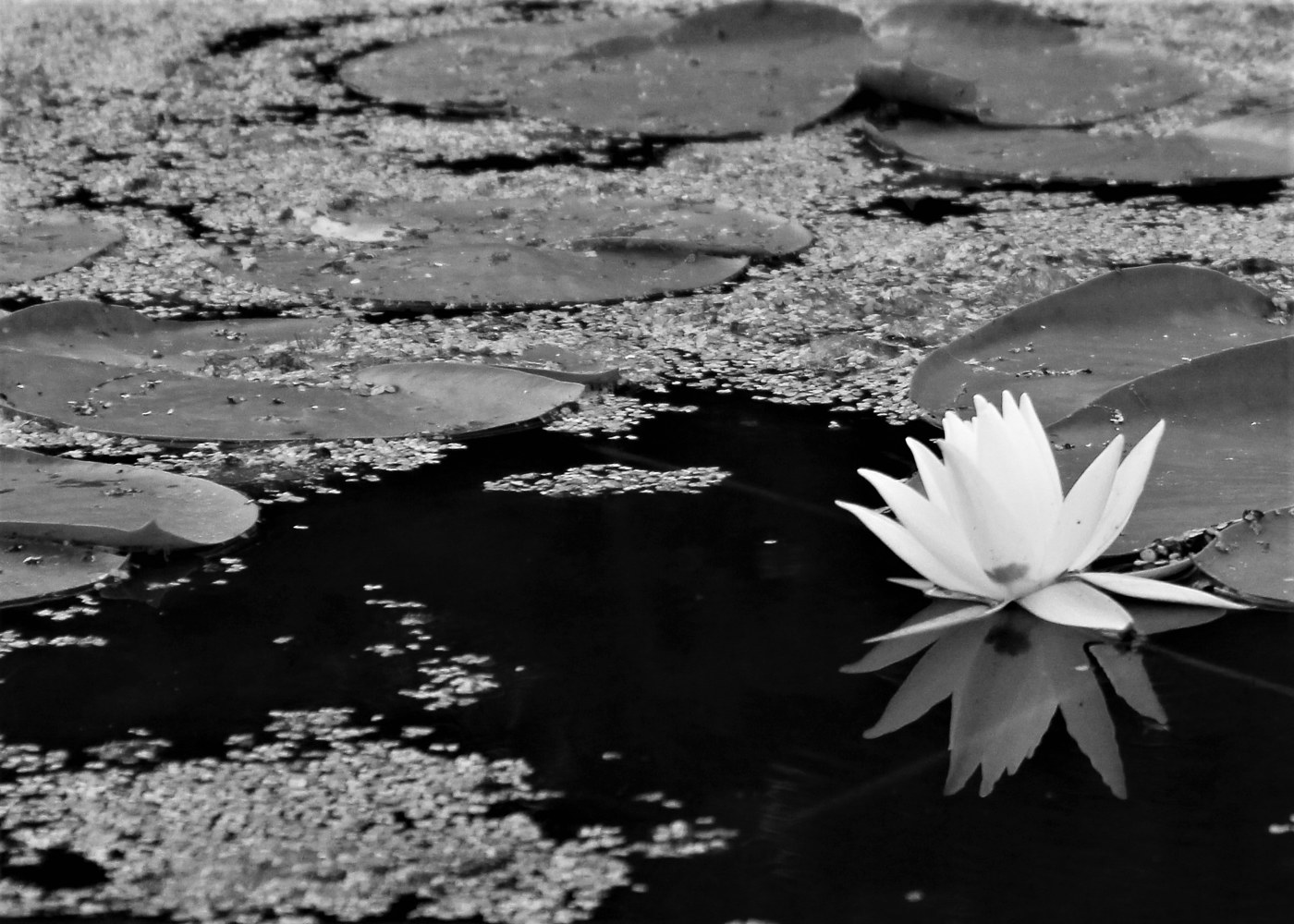 waterlily by Lisa Kane