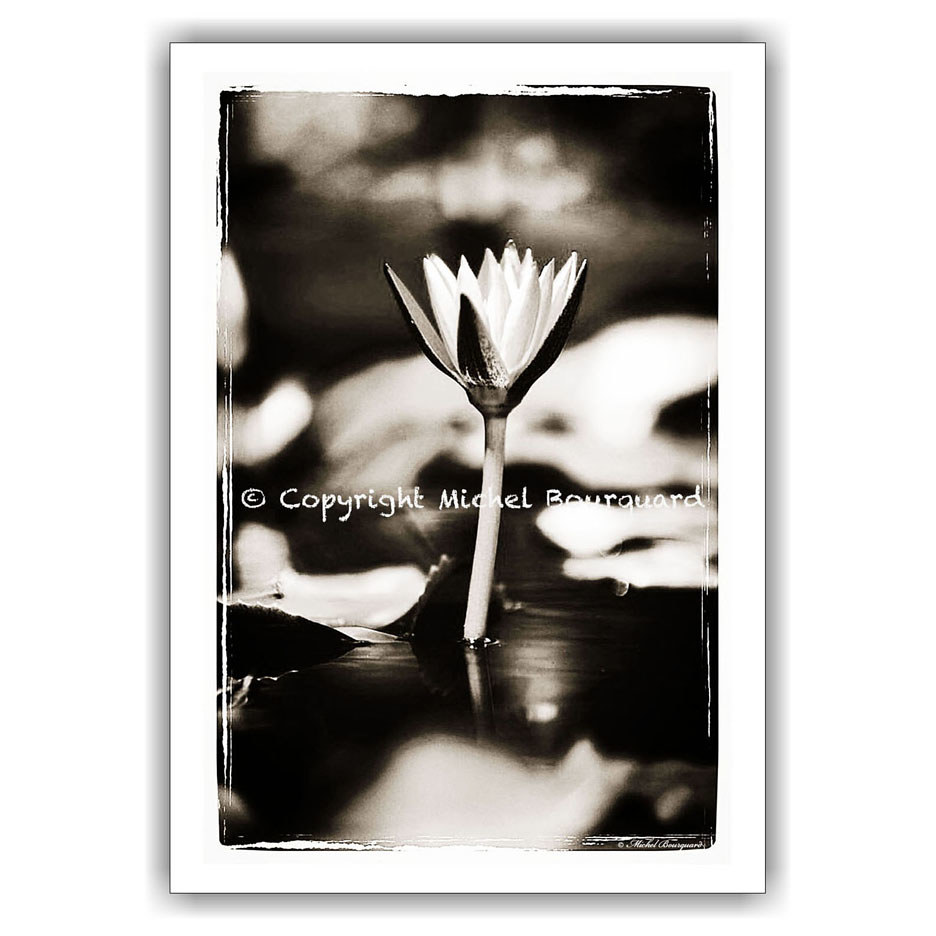 86-Lotus Flower in the pond BW 14-20 by Michel Bourquard