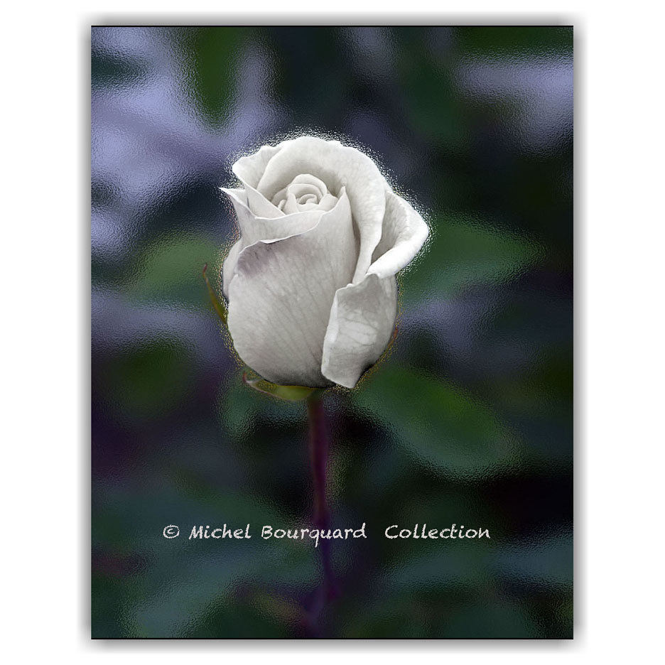 59_Yellow Rose white  2 by Michel Bourquard