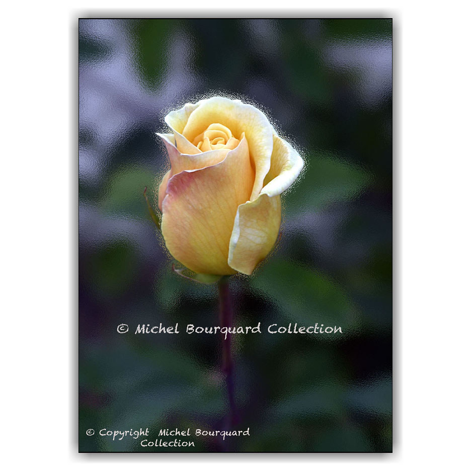 38_yellow rose _ by Michel Bourquard