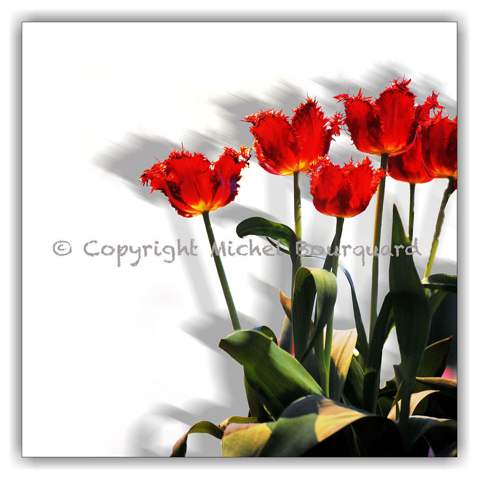 33-Red flowers and shadow 30-30   by Michel Bourquard