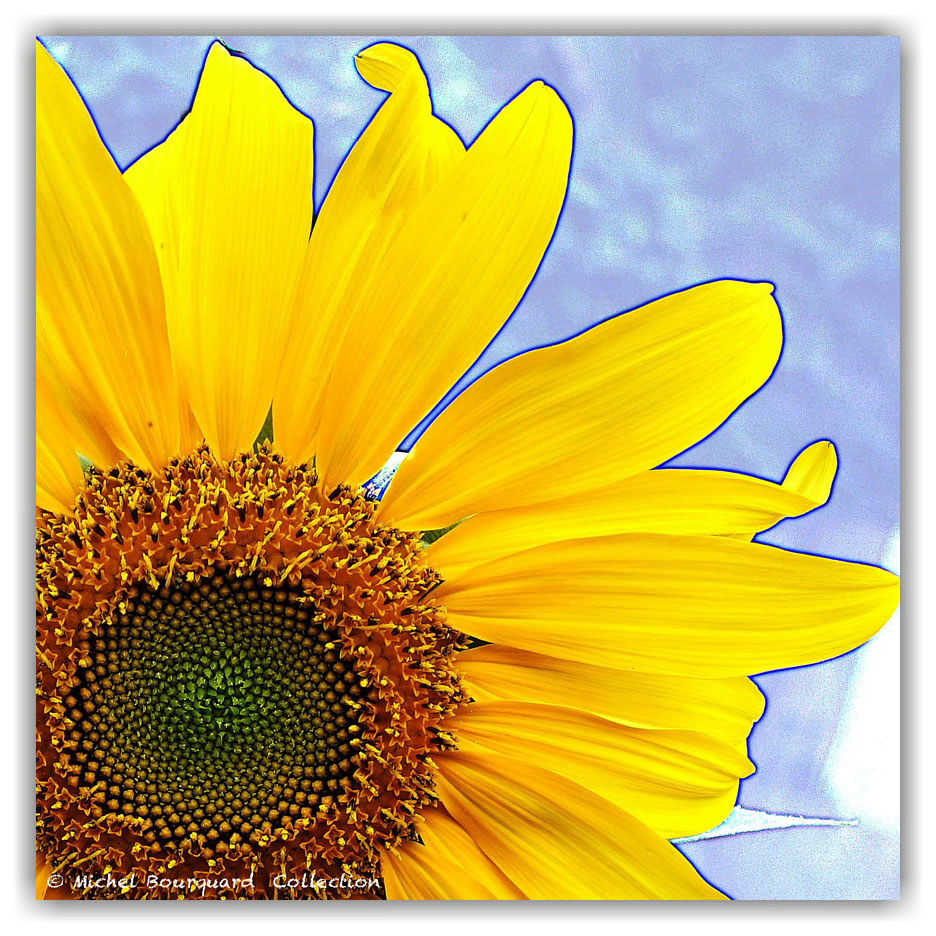 25_Tournesol 20x20  200 original sq 1 by Michel Bourquard