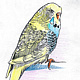 Drawing Budgie 1 (Original Drawing) by Ashley F Nitkin