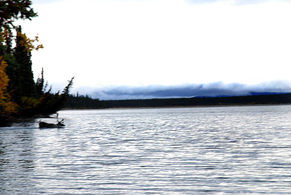 Caribou in Craig Lake by Belinda Harrow