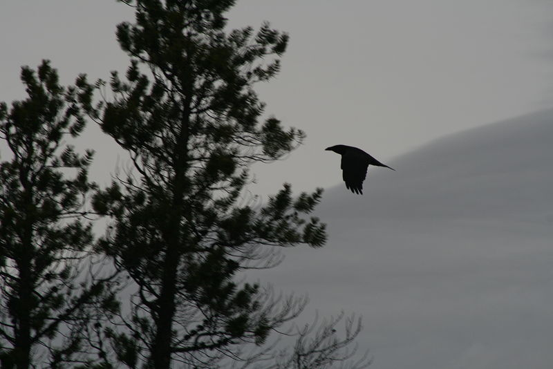 Raven near the sand dunes by Belinda Harrow