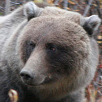 bear just outside of Carcross by Belinda Harrow