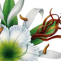 Print The Cahaba River Lilly by Sue Ellen Brown