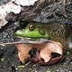 Cool Frog on a Hot Day by Anastasia O'melveny