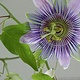 Passion Flower by Anastasia O'melveny