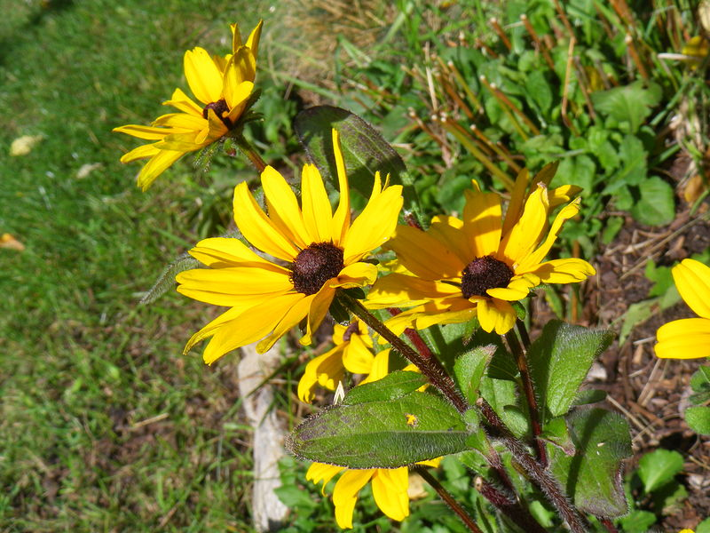 Autumn Rudbeckia by Allison Rennie