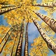 Abstract Aspens XXIII by Isaac Carpenter