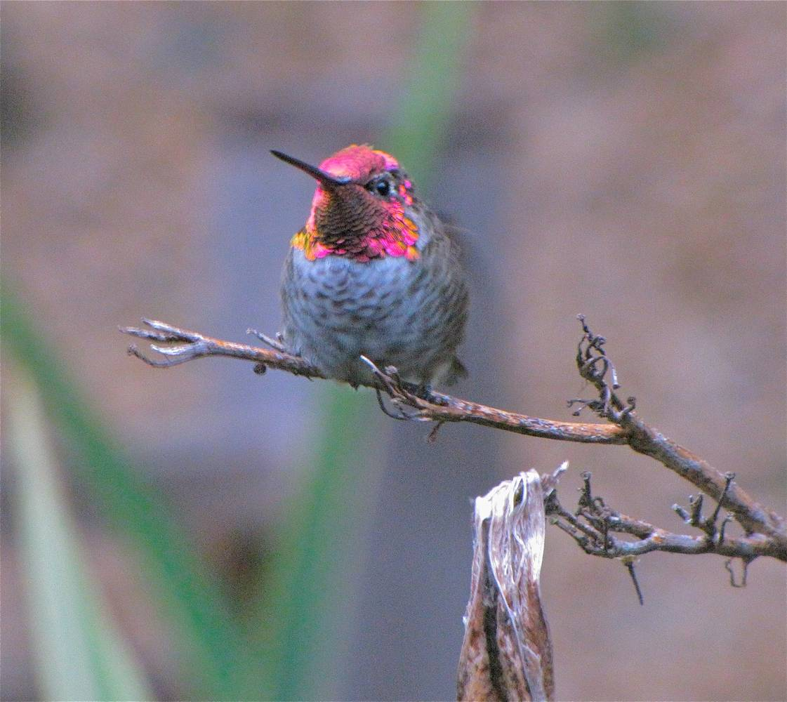 HUMMING BIRD IN MY YARD by Joeann Edmonds-Matthew