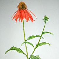 Painting Echinacea by Jane Crosby