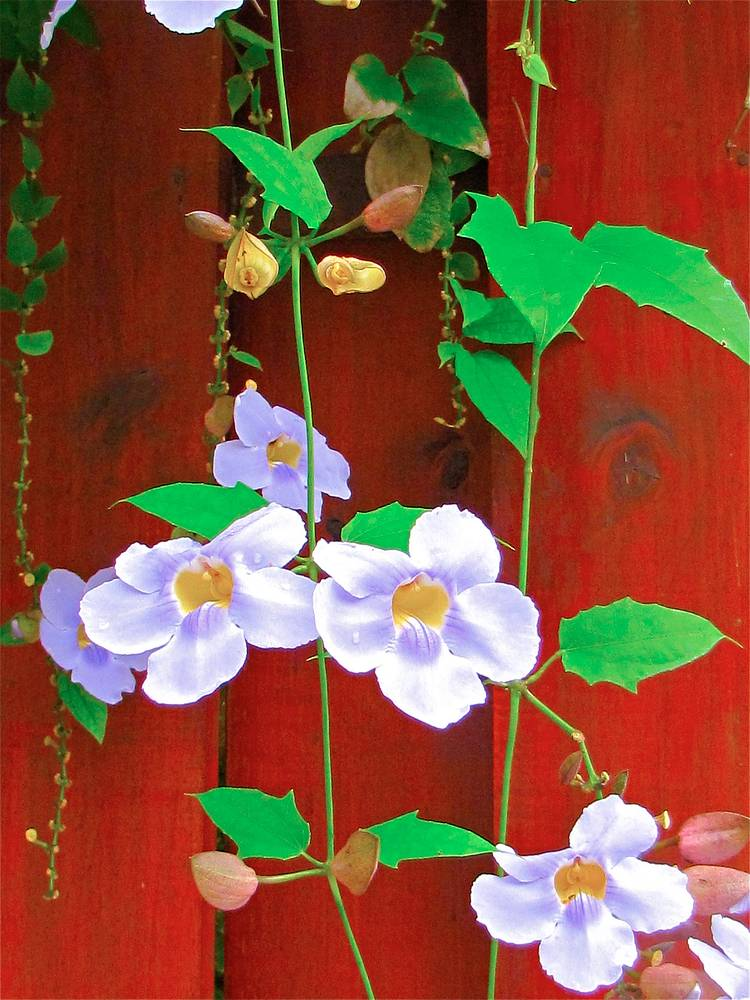 SUMMER VINE by Joeann Edmonds-Matthew