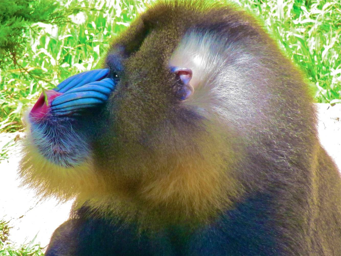 MANEY THE MANDRILL by Joeann Edmonds-Matthew